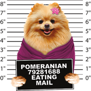 POMERANIAN EATING MAIL