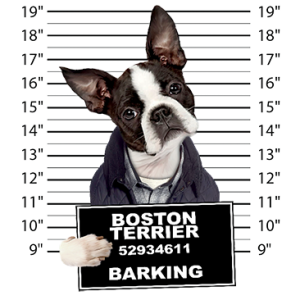 BOSTON TERRIER MUGSHOT