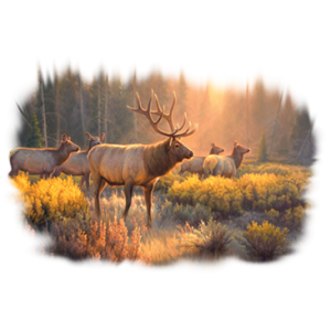 MORNING GLORY-ELK
